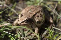 A frog sits in a freshly mown grass. The frog hid and merged with the grass bud-in camouflage in anticipation of childbirth on a warm, sunny summer day stock images