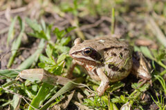 Frog sits in freshly mown grass warms in the warm sunshine. The frog hid and merged with the grass bud-in camouflage in anticipation of childbirth on a warm royalty free stock image