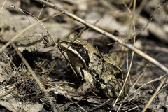 Frog sits among the grass Stock Images