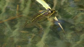 The frog sits. A green frog sits on a blade of grass in a lake stock video