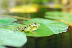 Frog sits on a green leaf Royalty Free Stock Photo