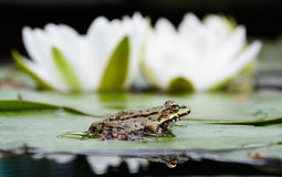 Frog sits on the green leaf near lily Royalty Free Stock Image