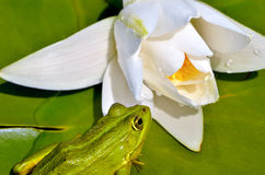 Frog sits on a green leaf among white lilies Royalty Free Stock Images