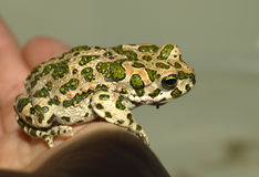Frog. A frog sits on a man`s arm royalty free stock image