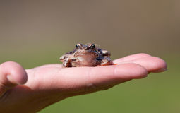 The frog sits on a palm Royalty Free Stock Photos