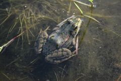 The frog sits in the pond. Reptile amphibian in its natural habitat Royalty Free Stock Photography
