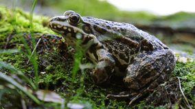 Frog sits on the shore. The frog sits on the shore stock video footage