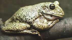 Frog sits on a tree branch. Frog sits on a tree branch close-up stock video footage