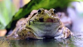 Frog sits under a green leaf stock video