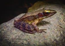 Frog royalty free stock photo