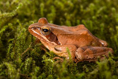 Frog sitting in ambush on green moss. It´s a spring frog (Rana dalmatina) Royalty Free Stock Photo