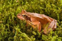 Frog sitting in ambush on green moss. It´s a spring frog (Rana dalmatina) Royalty Free Stock Image