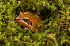 Frog sitting in ambush on green moss. It´s a spring frog (Rana dalmatina) Royalty Free Stock Images