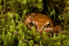 Frog sitting in ambush on green moss. It´s a spring frog (Rana dalmatina) Royalty Free Stock Photos