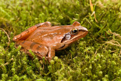 Frog sitting in ambush on green moss. It´s a spring frog (Rana dalmatina) Royalty Free Stock Image