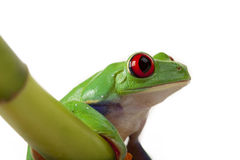 Frog sitting on Bamboo Royalty Free Stock Images