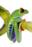 Frog sitting on Bamboo Stock Images