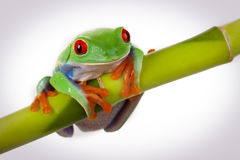 Frog sitting on Bamboo Stock Image