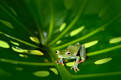 Frog sitting on the big green leave. Beautiful frog in the night. Olive Tree Frog, Scinax elaeochroa, from Costa Rica forest. Trop. Frog sitting on the big green stock images