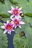Water lilies and a frog. Frog sitting on a big leaf in the pond with pink water lilies in full bloom royalty free stock images