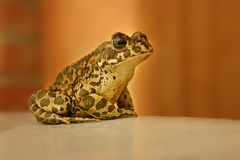 Frog sitting on a brown background. Brilliant Stock Image