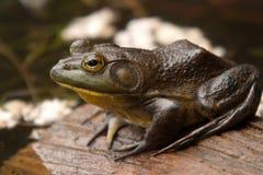 Frog sitting on brown log Stock Photography
