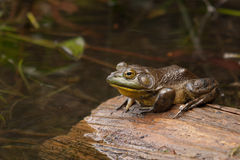 Frog sitting on brown log Stock Images
