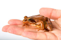 Frog sitting on flat hand. It´s a spring frog (Rana dalmatina). Royalty Free Stock Photo