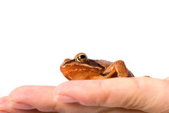 Frog sitting on flat hand. It´s a spring frog (Rana dalmatina). Royalty Free Stock Photography