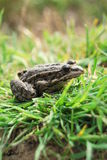 Frog. Sitting in the grass stock images