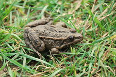 Frog. Sitting in the grass stock image