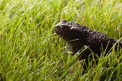 Frog sitting on green grass. Gray frog sitting on green grass Stock Images