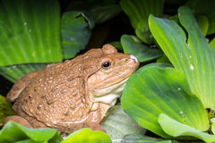 Frog sitting on green leaves Stock Image