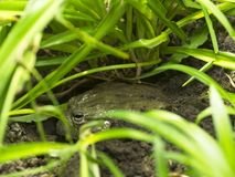 Green frog sitting on the ground and hiding in the grass. Frog sitting on the ground and hiding in the grass. An image of Spring/Summer stock images