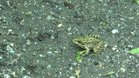 Frog sitting on the ground stock video