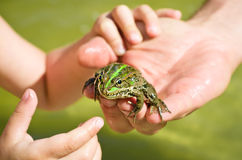 Frog sitting on a human hand. Looking at the camera Royalty Free Stock Photo