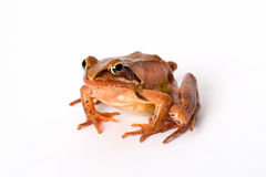 Frog sitting isolated on white background. It´s a spring frog (Rana dalmatina). Stock Image