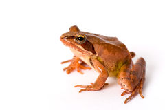 Frog sitting isolated on white background. It´s a spring frog (Rana dalmatina). Stock Photos