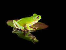 Frog sitting on leaf. White-lipped tree frog or Litoria Infrafrenata sitting on a leaf Stock Photos