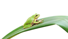 Frog sitting on a leaf Royalty Free Stock Photo