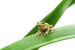 Frog sitting on a leaf Stock Photos