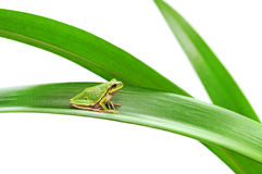 Frog sitting on a leaf Royalty Free Stock Image