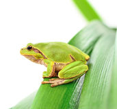 Frog sitting on a leaf Royalty Free Stock Photos