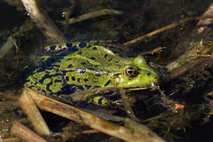 Frog sitting on a leaf in a pond Stock Images