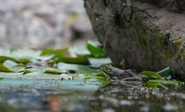 Frog sitting on a leaf in a pond royalty free stock images