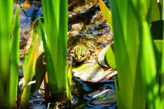 Frog sitting on a lily pad in the pond Stock Photo