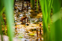 Frog sitting on a lily pad in the pond royalty free stock photos