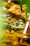 Frog sitting in the pond Royalty Free Stock Photo