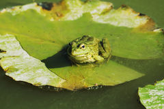 A frog sitting on lotus leaf Royalty Free Stock Image