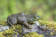 Frog sitting on a mossy rock. Stock Photos